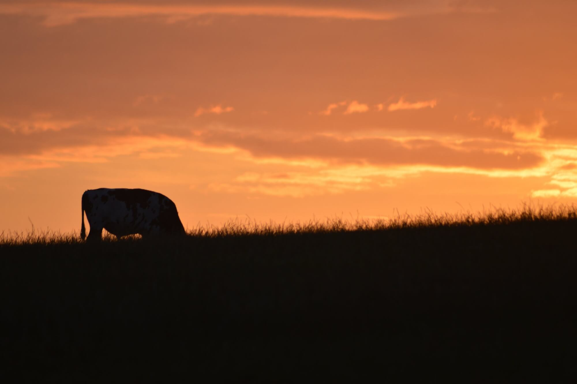 A cow grazes at sunset.