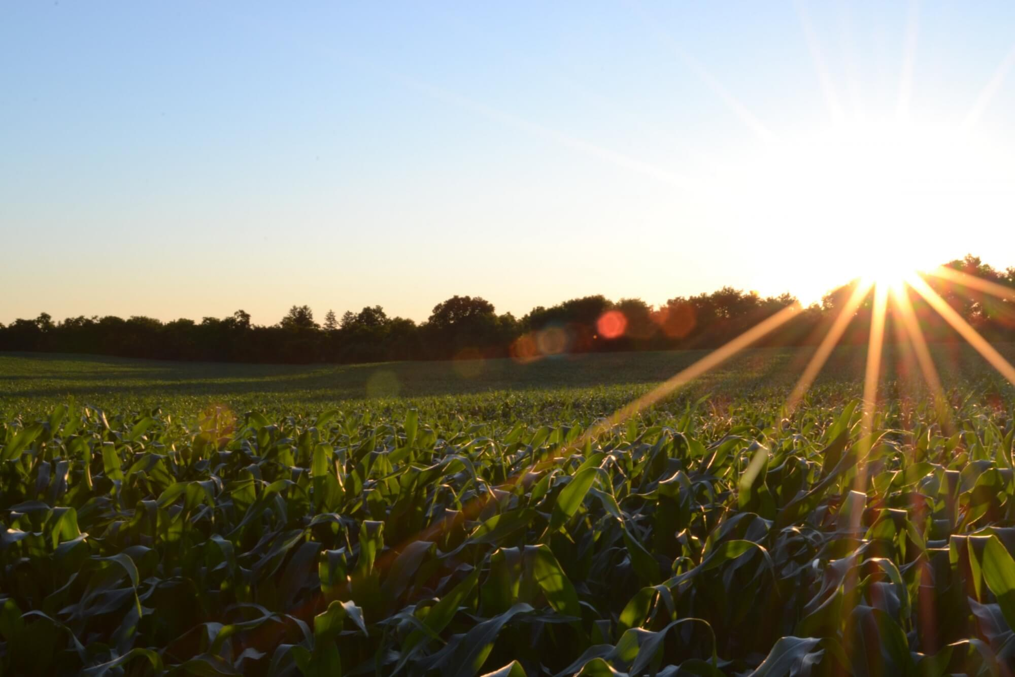 Sunlight touches crops in a field