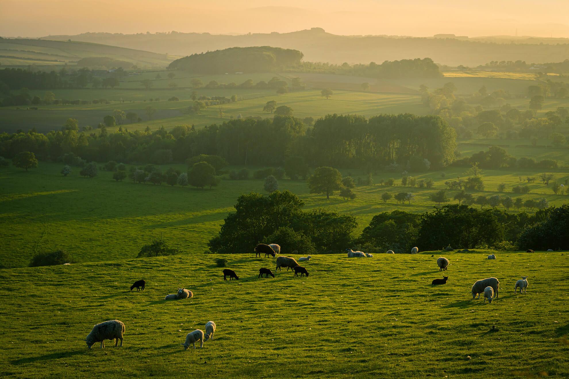 A field of grazing livestock.